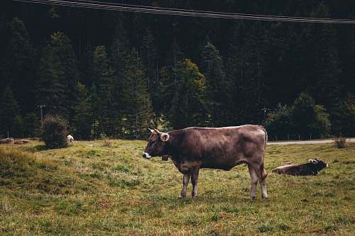 mammal brown cow near trees during daytime cattle