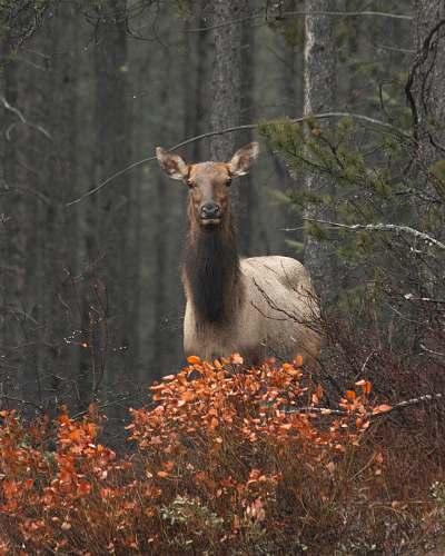 elk brown deer deer