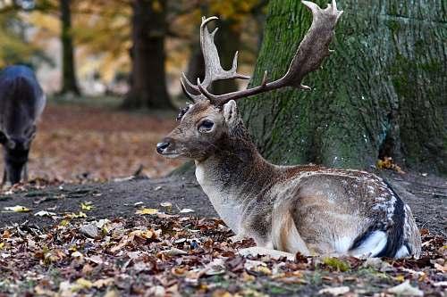mammal brown deer lying on brown leaves kangaroo
