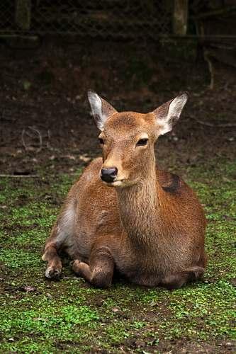 mammal brown deer lying on ground kangaroo