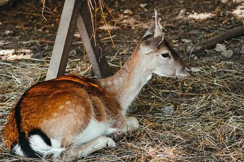 mammal brown deer lying on the ground kangaroo