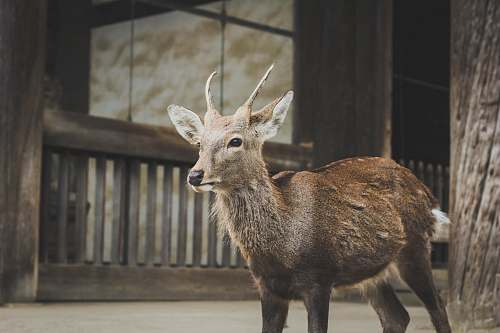 deer brown deer standing near wooden fence japan