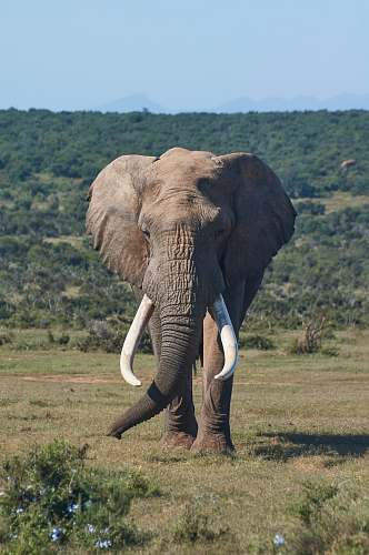 mammal brown elephant on grass field elephant