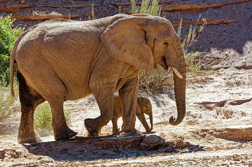 wildlife brown elephant with calf mammal