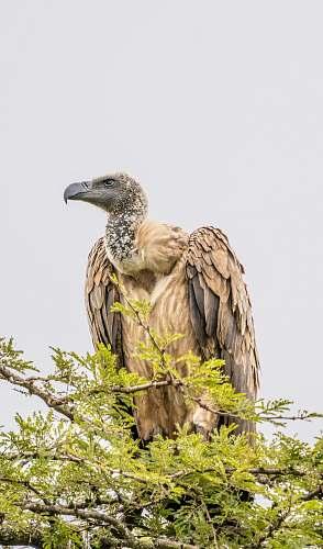bird brown falcon on tree vulture
