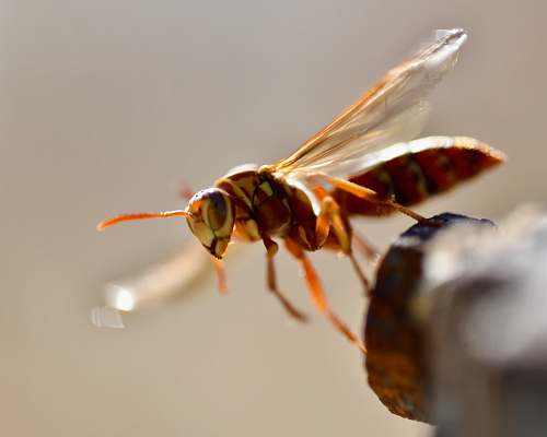 insect brown fly close-up photography wasp
