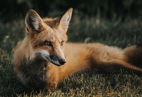fox brown fox on ground wildlife