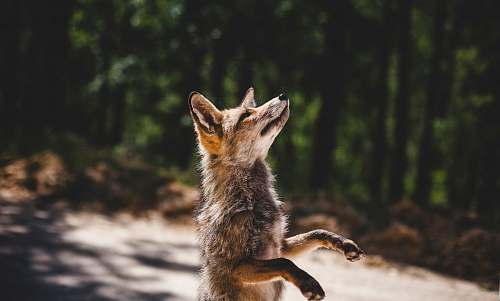 fox brown fox standing near woods during daytime wildlife