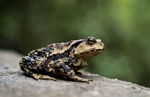 reptile brown frog lizard