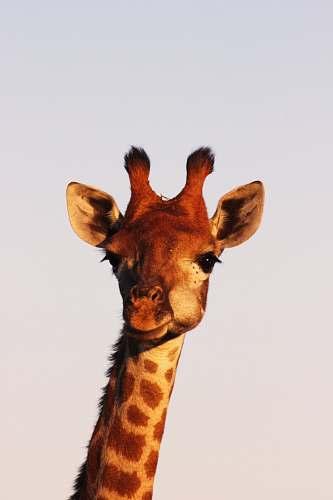 wildlife brown giraffe giraffe