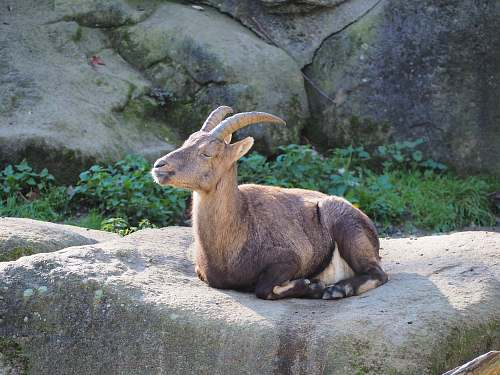 mammal brown goat on gray rock wallaby