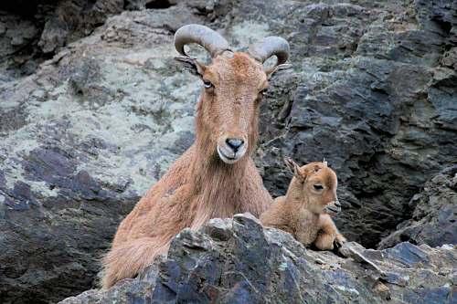 kangaroo brown goat on rock formation mammal