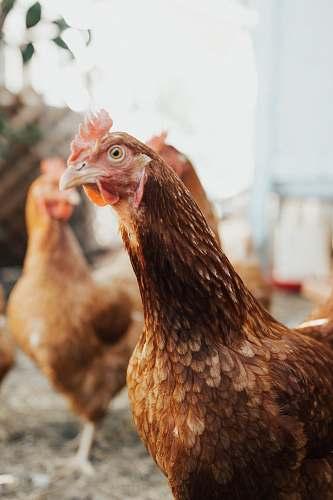 bird brown hen chicken