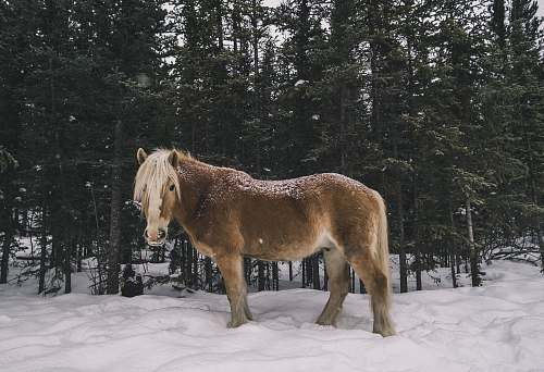 photo mammal brown horse standing near pine trees horse free for commercial use images