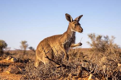 mammal brown kangaroo kangaroo