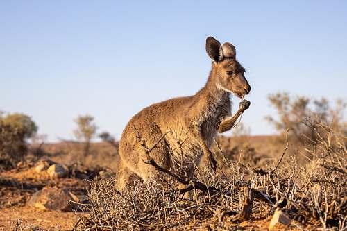 mammal brown kangaroo on field kangaroo