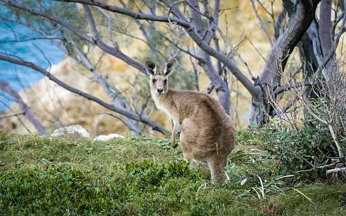 australia brown kangaroo on green field kangaroo