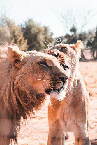 mammal brown lion and lioness lion