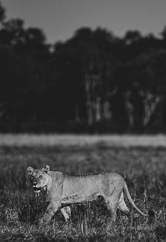 black-and-white brown lion lion