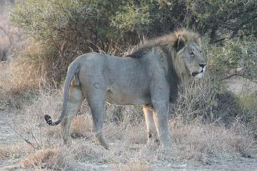 mammal brown lion near trees during daytime lion