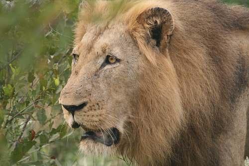 mammal brown lion outdoor during daytime lion
