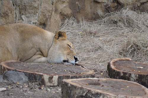mammal brown lion sleeping near wood stumps lion