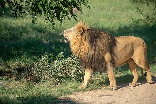 wildlife brown lion under green tree lion
