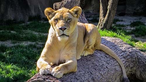 mammal brown lioness lion