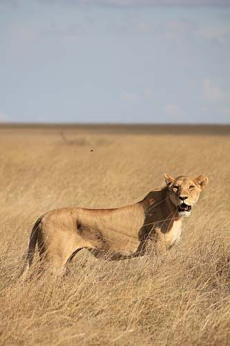 wildlife brown lioness surrounded by grass during daytime lion