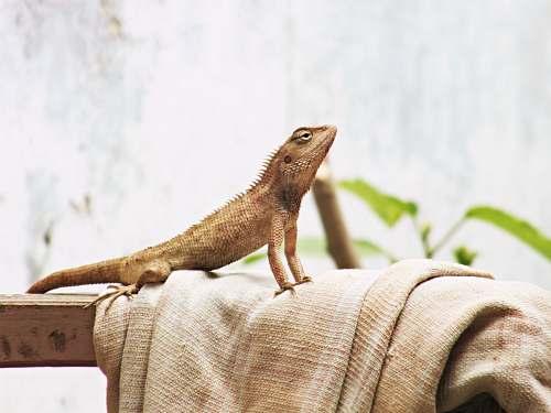 reptile brown lizard on brown textile lizard