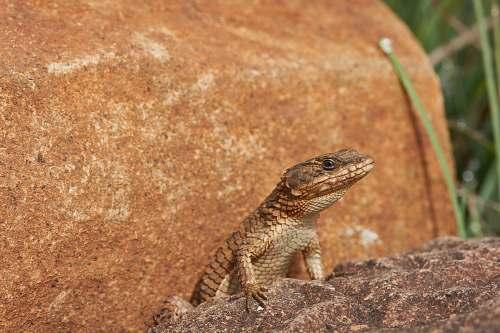reptile brown lizard on rock lizard