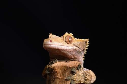 reptile brown lizard lizard