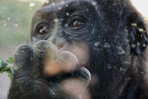 mammal brown monkey macro photography ape