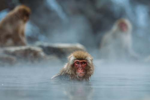 japan brown monkey on body of water shallow focus photography monkey