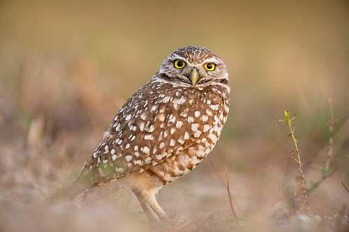 bird brown owl in bokeh photography owl