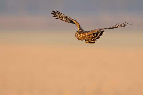 bird brown owl in flight flying