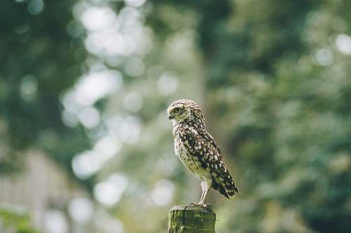 bird brown owl on tree accipiter