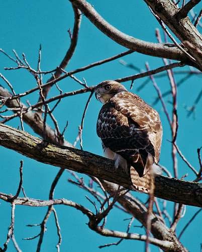 bird brown owl perching on tree hawk