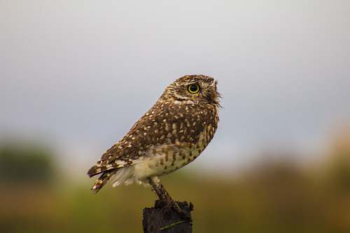 bird brown owl standing on pole argentina