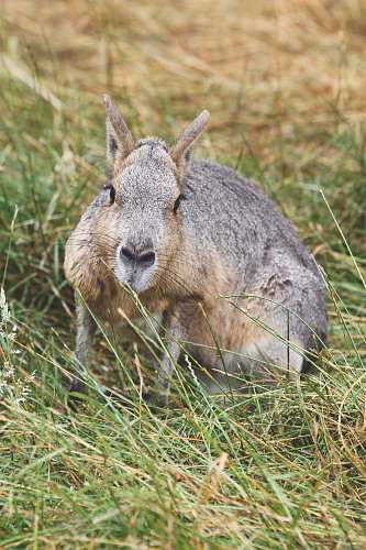 mammal brown rabbit on grass kangaroo