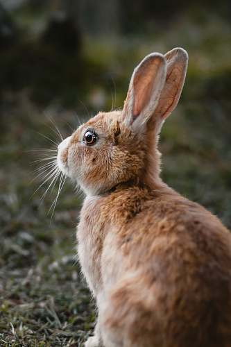 rodent brown rabbit hare