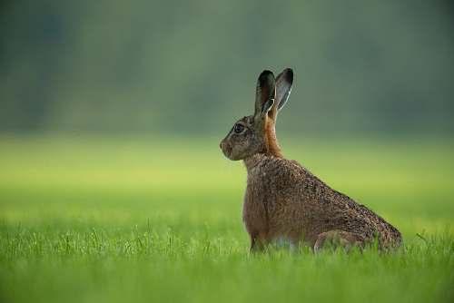 hare brown rabbit standing on green grass field rodent
