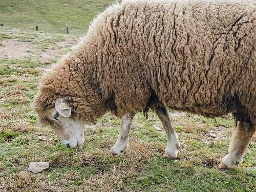 mammal brown sheep sheep