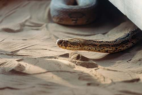 reptile brown snake crawling in the sand snake