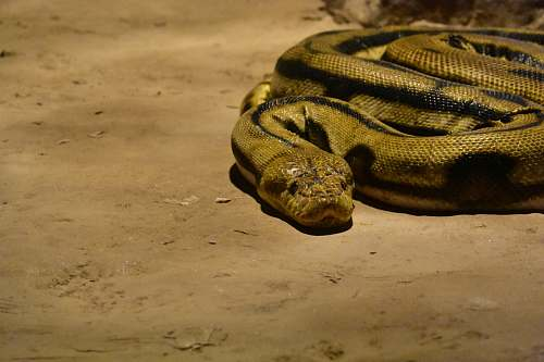 snake brown snake anaconda