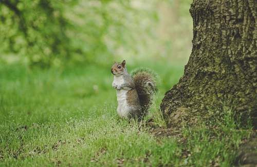 squirrel brown squirrel rodent