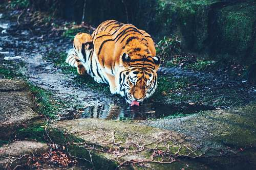 tiger brown tiger drinking water wildlife