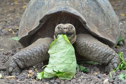 reptile brown tortoise eats green leaf sea life