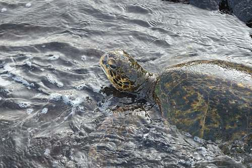 reptile brown tortoise on water sea life