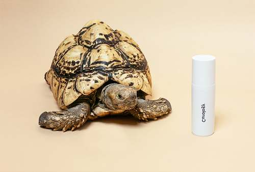reptile brown tortoise turtle